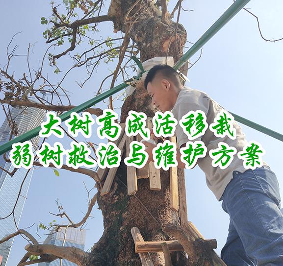 大树高成活移栽、弱树救治与维护方案