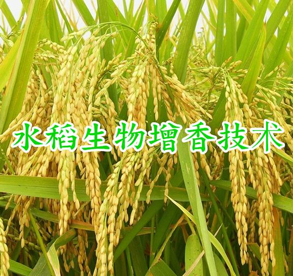 水稻生物增香技术