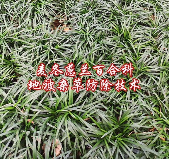 麦冬葱兰等百合科地被杂草防除技术