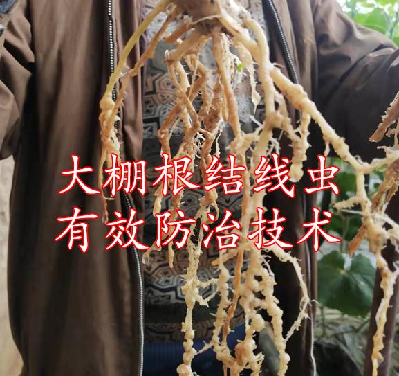 大棚根结线虫防治