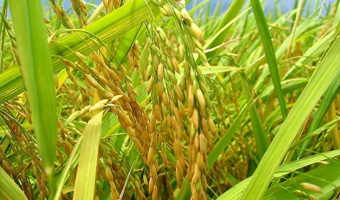 超级稻优米栽培技术