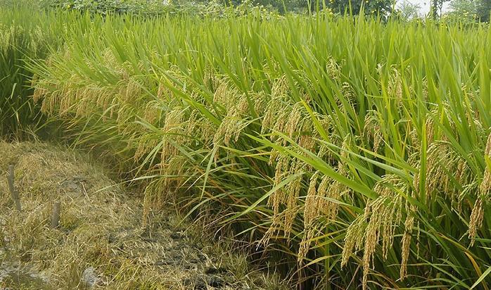 香稻増香栽培技术