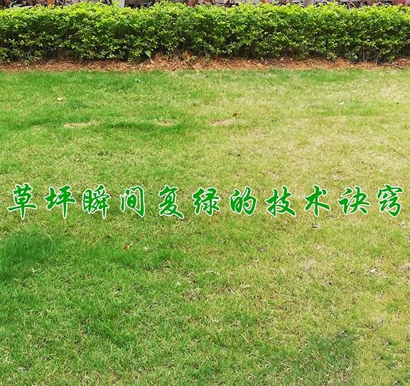草坪瞬间复绿的技术诀窍