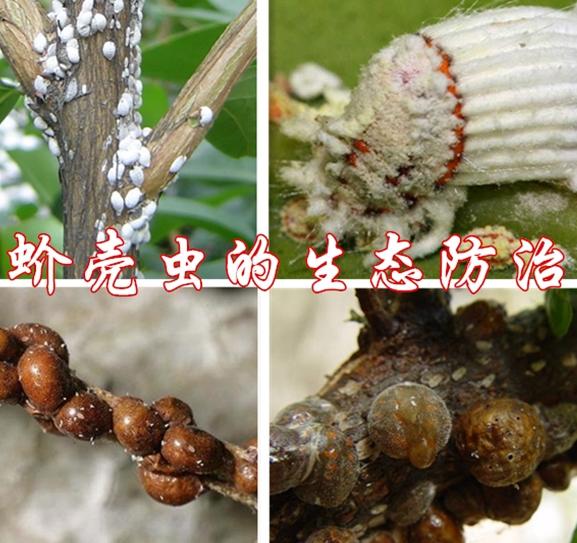蚧壳虫的生态防治