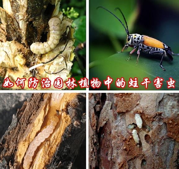 如何防治园林植物中的蛀干害虫?