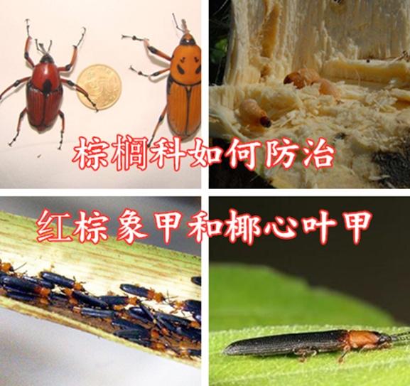 棕榈科如何防治红棕象甲和椰心叶甲