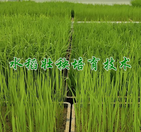 水稻壮秧培育技术