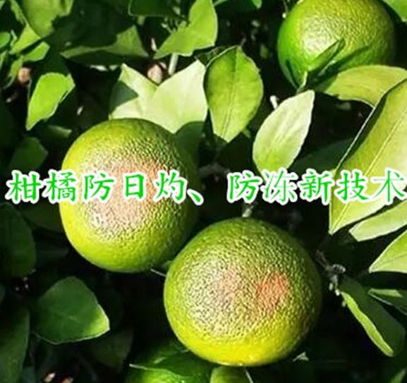 柑橘防日灼、冻害新技术