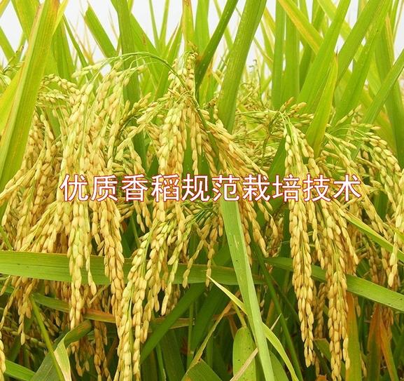 优质香稻规范栽培技术