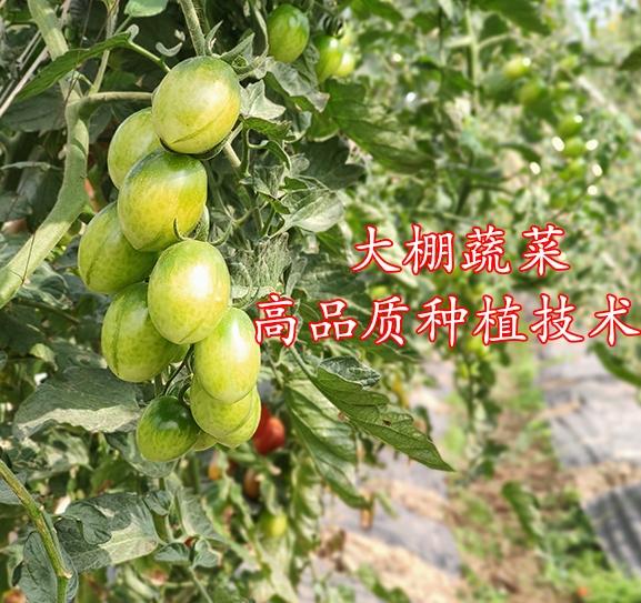 大棚蔬菜高品质种植技术